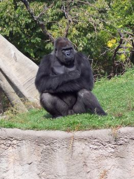Gorilla -2- by Chaos--Stock