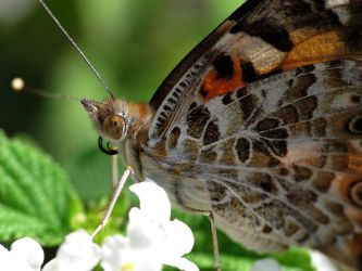 Painted Lady Butterfly (Vanessa Cardui) by suhleap