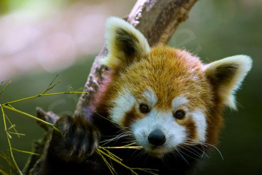 Red Panda by guffy