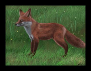 Red fox practice by Sabientje