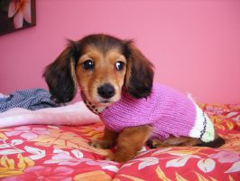 Wiener in a Sweater by dammitxsara