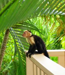 White Faced Monkey by AndYouThoughtICared