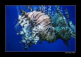 Red Lionfish by grugster