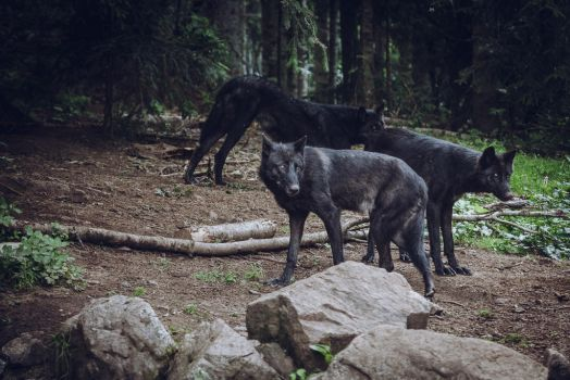 Black Wolf 3 by francescotosi