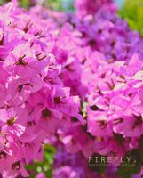 flowers. by firefly05
