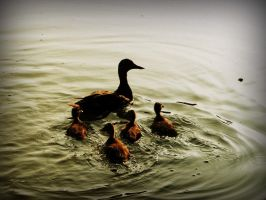 Duck Family by beeayoutifullove