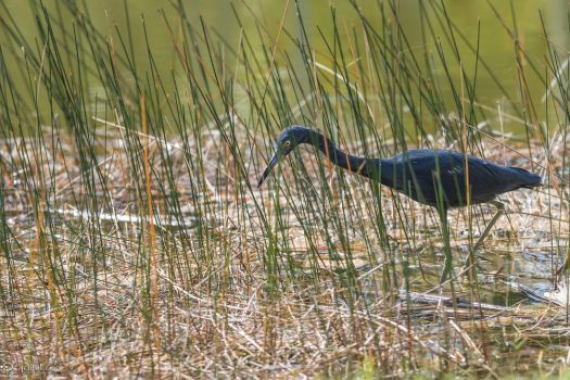 Little blue heron hunting by CyclicalCore