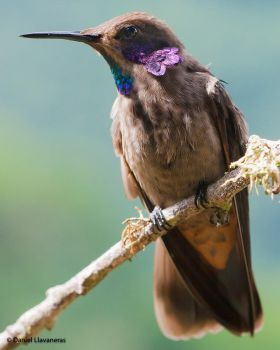 Brown Violetear by dllavaneras