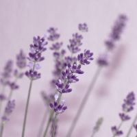Sweet lavender by thedaydreaminggirl