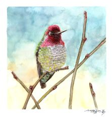 Anna's Hummingbird by Tstar7