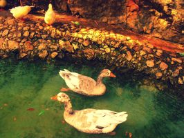 Duckies by Syrkle