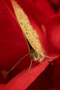 Classic butterfly on a red poinsettia leaf by Kisarisary