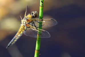 Dragonfly by MaresaSinclair