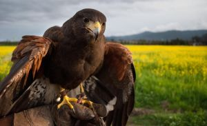 Harris Hawk by FeatheredSamurai