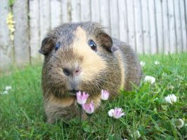 Guinea Pig by leanne-xo
