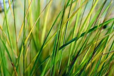 Blades of Grass by snowandroses