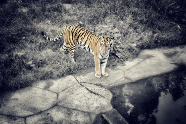 Tiger By The Water by EmmyLundholm