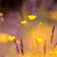 Buttercup Meadow by FreyaPhotos