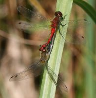 Red Hot Dragonfly Love by parrotdolphin