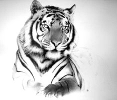 Tiger by amraa