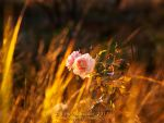 The Last Rose of Summer by Lilyas