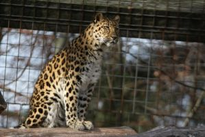 Amur Leopard Stock 21 by HOTNStock