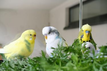 Hello from my budgies by budgielicious
