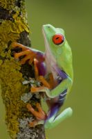 Beautiful tree frog by AngiWallace