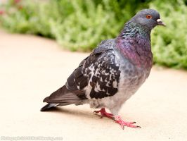 Pigeon Stalking by KBeezie