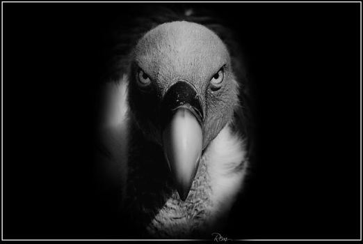 Meet the Eye -Griffon Vulture by RemiGarciaPhoto
