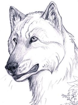Wolf Head Study by AquariusWolf