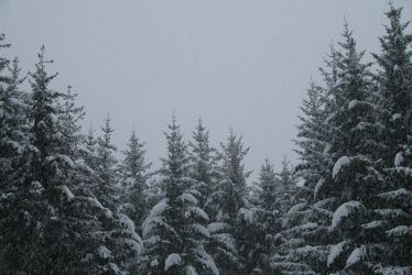 Snow Forest by Ciuva