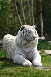 The Tiger King by MorganeS-Photographe