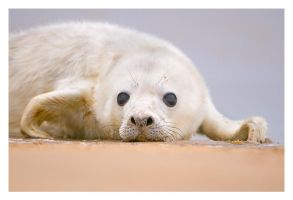 Portrait of a Seal Pup by Neutron2K