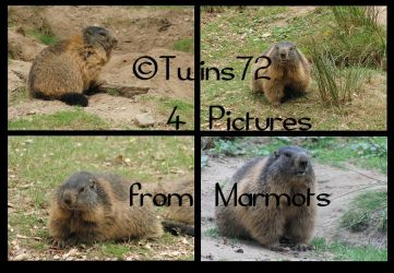 Stock Marmots 1 by Twins72
