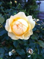 Yellow rose with green leaves in Holyoke MA by caspercrafts