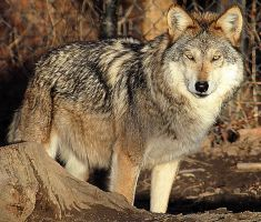 Mexican Wolf Stock 18 by HOTNStock