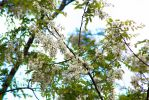 Apod 126: Honey Locust by cedarlili