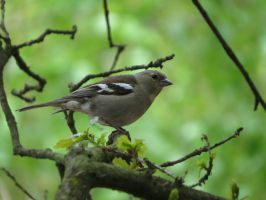 Common Chaffinch by HammerPhotography