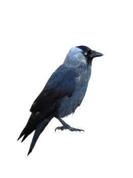 Stock Crow 3 by babsartcreations