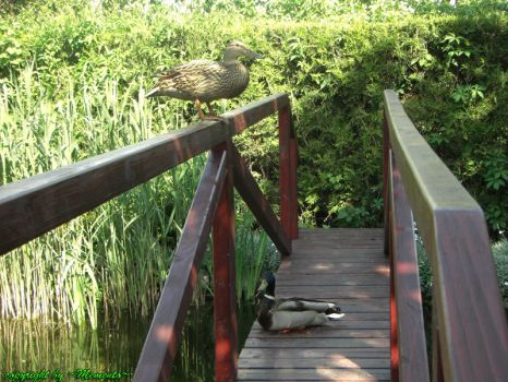 Ducks on the bridge by LexartPhotos