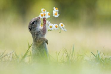 European Ground Squirrel by JulianRad