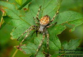 Beautiful Female Araneus diadematus by TheFunnySpider