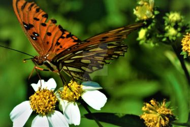 double flower butterfly by Brian-Did-It