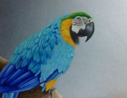 Blue and Gold Macaw by ktflowerm