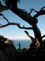 Point Lobos Cypress by khynnea