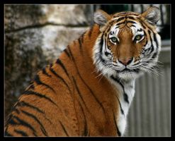Amur Tiger by oOBrieOo