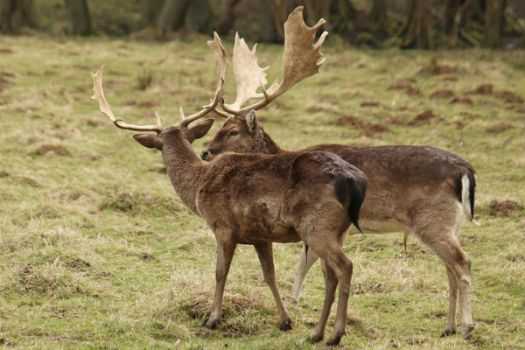 Deer Stock 20 by Malleni-Stock