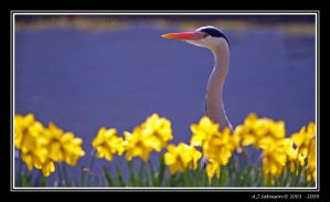 Heron In Daffs by andy-j-s