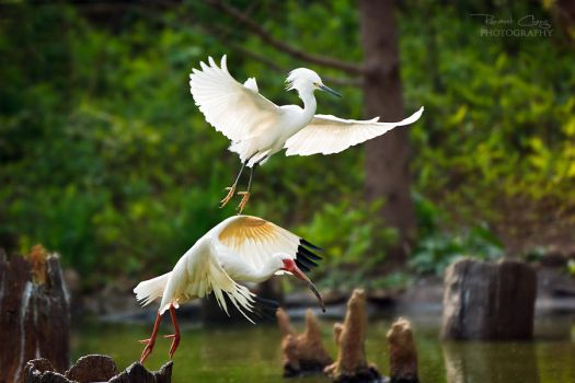 .:Egret and Ibis:. by RHCheng